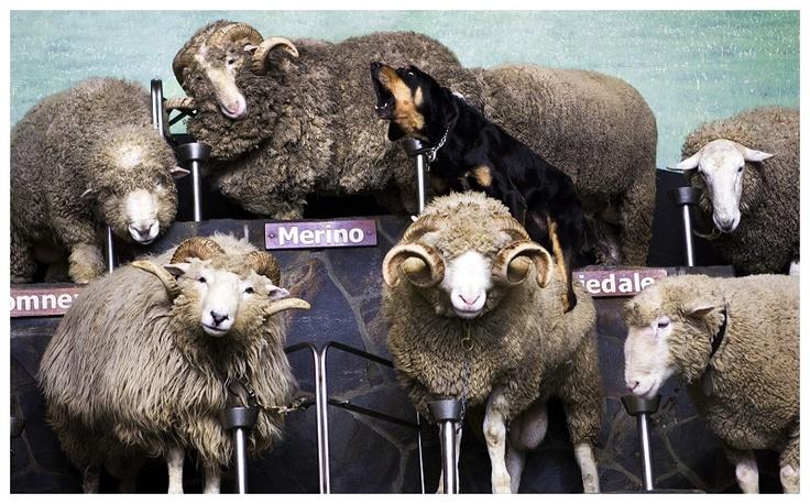 New Zealand Huntaway on Rams