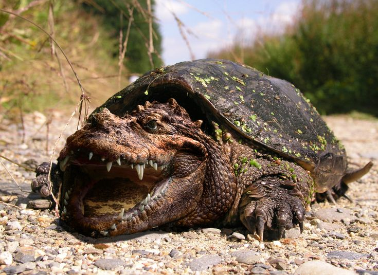 Snapping Turtle: How to get rid of snapping turtles - Pest Control ...