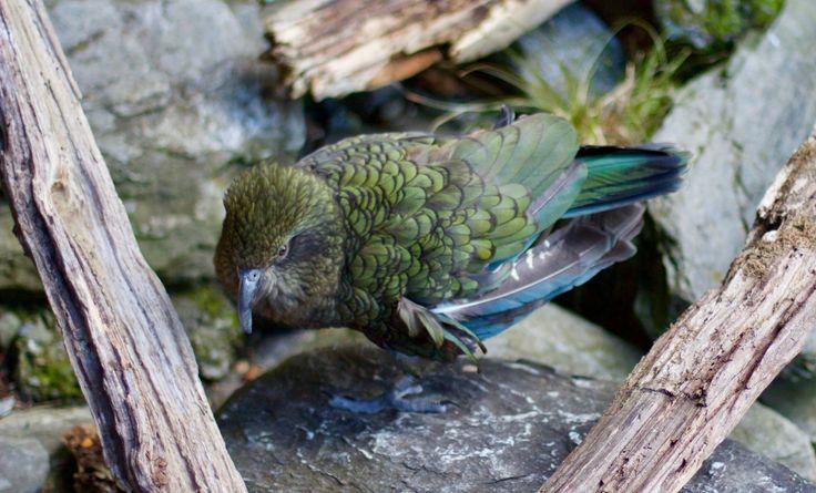 Kea Native Parrot. South Island on our Rimu or Manuka Tours http://activeadventures.com/new-zealand/trips  #travel #adventuretravel #bucketlist #newzealand #rimutrip #southislandnewzealand