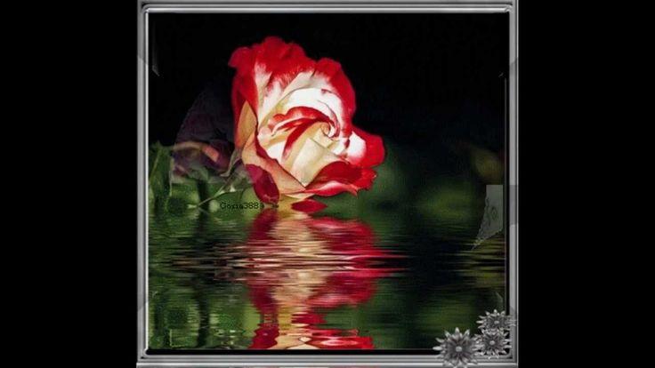 Amigos……      Rote Rosen – Rosie