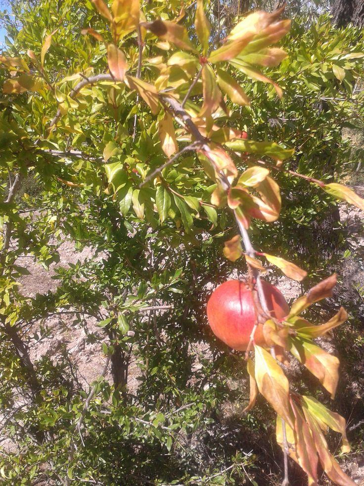 La granada  Ver más en:   http://www.20minutos.es/noticia/1739359/0/granada/fruta/virtuosa/#xtor=AD-15&xts=467263