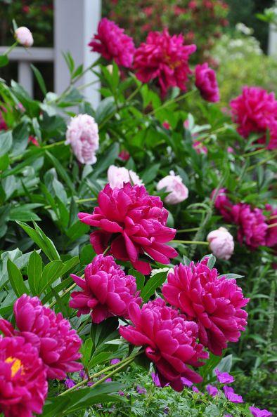 °cottage garden° PEONIES