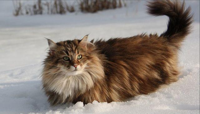 норвежская лесная кошка - Поиск в Google