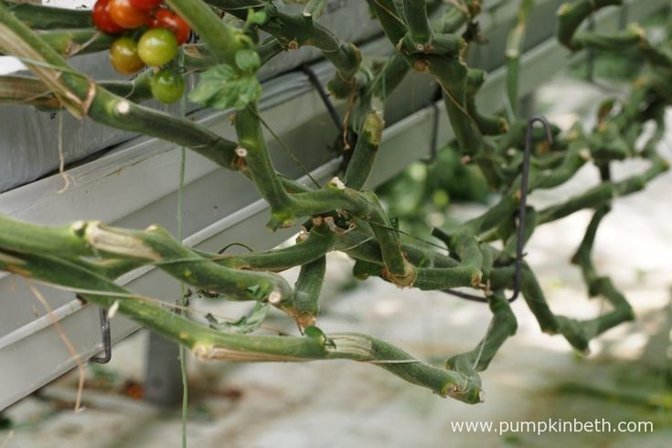 A closer look at the layering technique Eric Wall Ltd use to train their tomato plants, inside their glasshouses, at their site in Barnham, Chichester,…