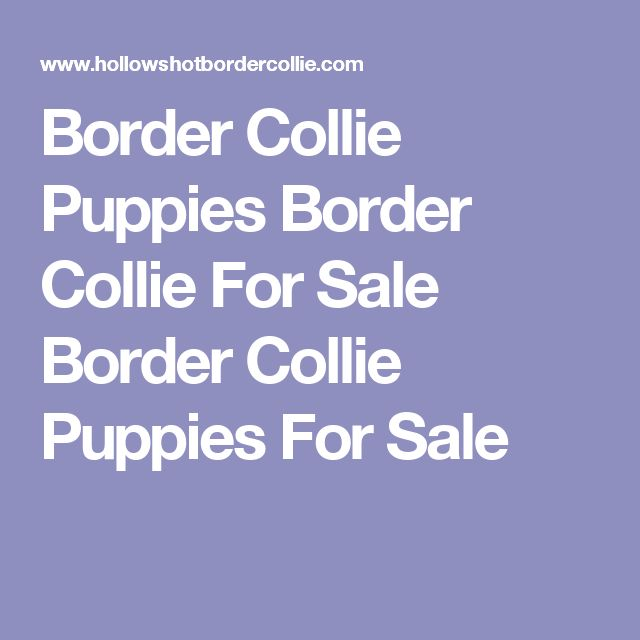 Border Collie Puppies Border Collie For Sale Border Collie Puppies For Sale
