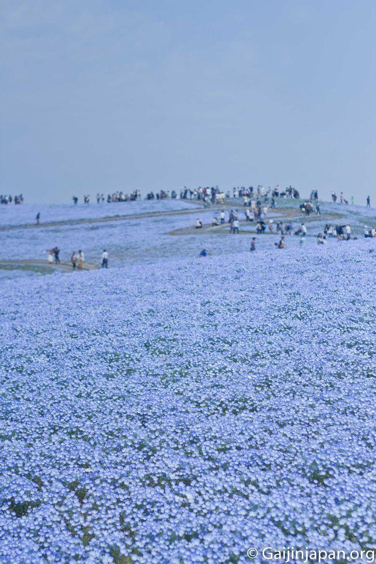 Une véritable colline de fleurs bleues fait le charme unique du Hitachi Seaside PArk au sein de la préfecture d'Ibaraki au Japon