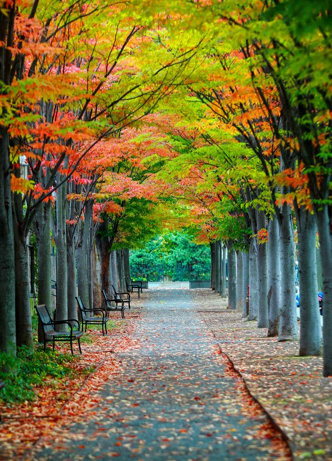 ~~Princeton Allee in Fall ~ autumn, avenue of elms, Princeton, New Jersey by Wim Swyzen~~