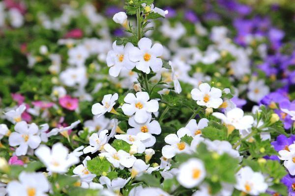 Bacopa d 39 afrique du sud plante retombante ou tapissante for Plante retombante