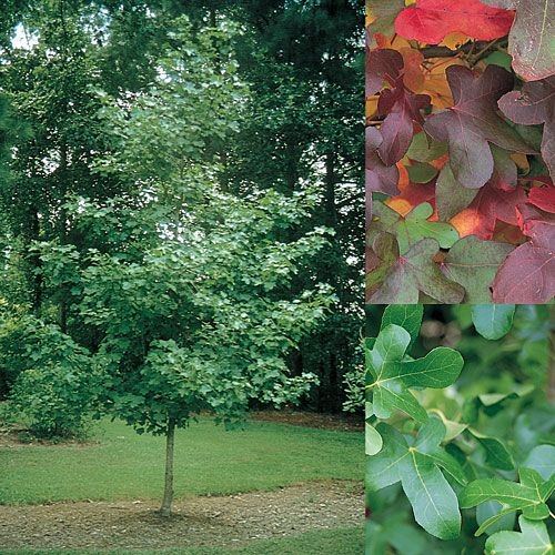 Liquidambar styaciflua 'Rotundiloba' - the 'round-leaf' liquidambar which is amazingly tough like most liquidambar and will cope with sandy-soils provided seaspray is minimal.