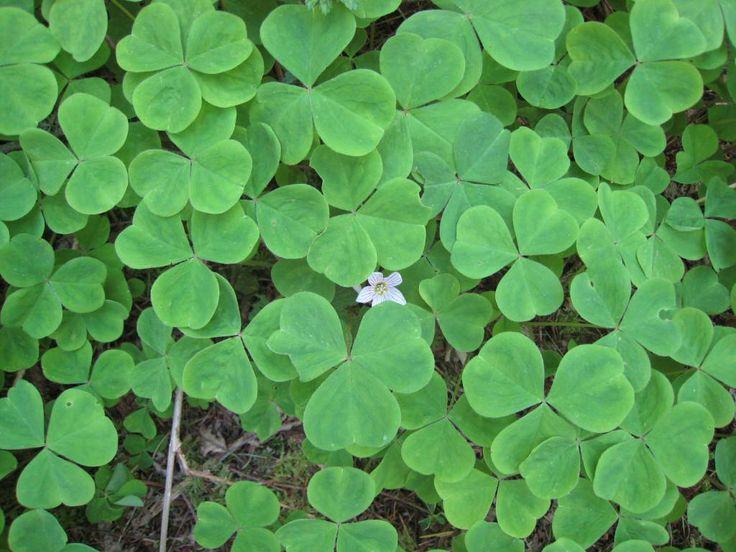white oxalis - wood sorrel | Oregon Wood Sorrel (Oxalis oregana) | nwwildflowers