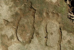 Footprint petroglyphs in Arkansas.  All the footprint images we know about are petroglyphs. They are generally life-sized and occur singly, in pairs, and occasionally in groups.