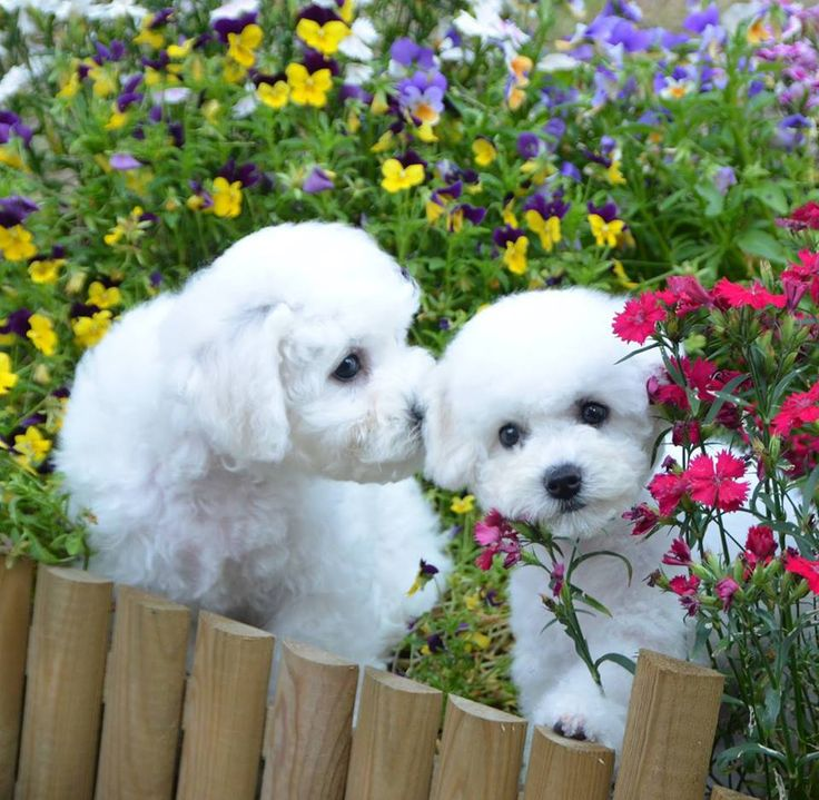 Sweet lil' Bichons frolicking in the flowers.