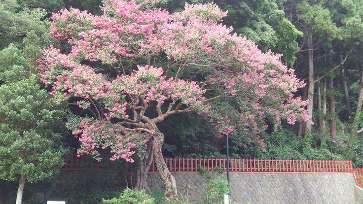 百日紅 塩釜神社0829