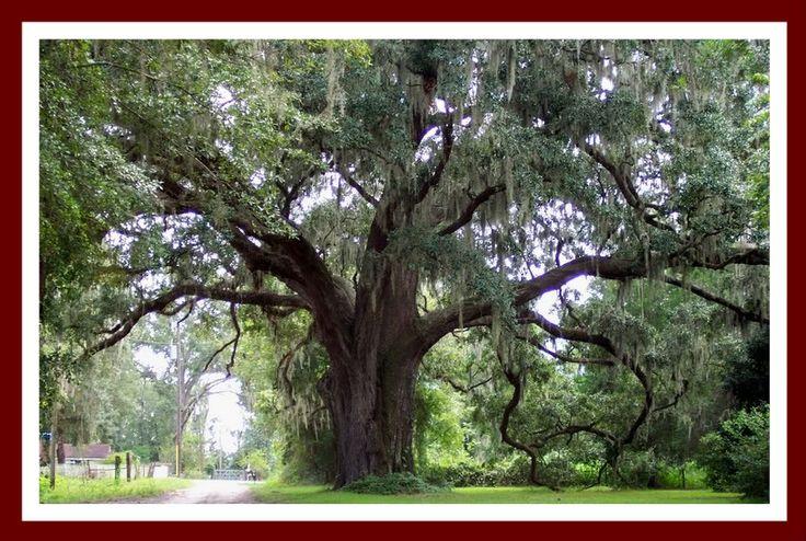 Oak Tree Symbols The Image Kid Has It