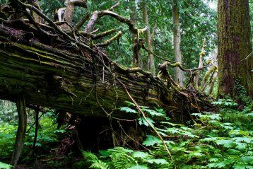 British Columbia's northern interior mountain ranges are home to unique inland wet-temperate rainforests. The Ancient Forest located east of Prince George is one of my favorite places to hike! #Travel #BC