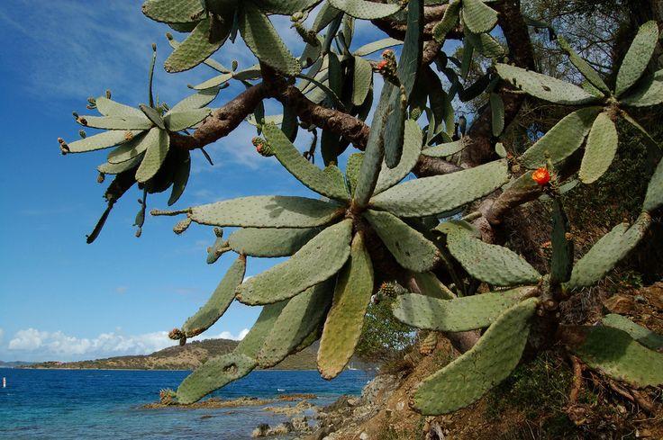 https://flic.kr/p/4x1XMA | Opuntia | Эта опунция - настоящее дерево. Интересно, сколько ему лет? Я раньше не задумывалась над тем, что у тропических деревьев отсутсвуют кольца, и потому трудно оценить их возраст, можно только угадать.