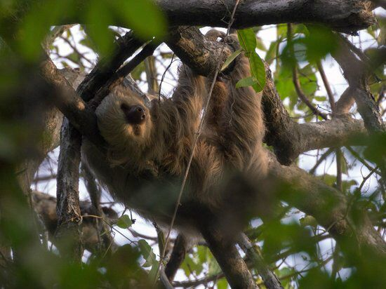 Two-toed sloth sleeping over the monkey trails - Picture of Hotel ...