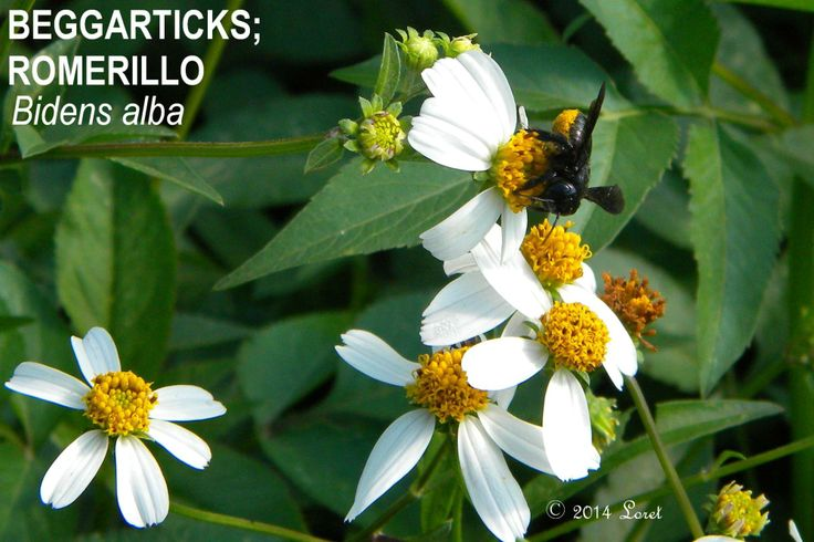 BEGGARTICKS; ROMERILLO (Bidens alba) | What Florida Native Plant Is Blooming Today?™