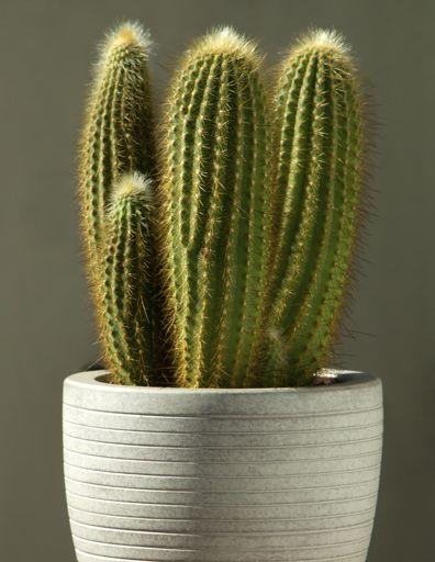 17 best images about cactus on pinterest mesas arizona for Cactus de exterior