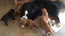 Bernese Mountain Dog lets rescue puppies play on him