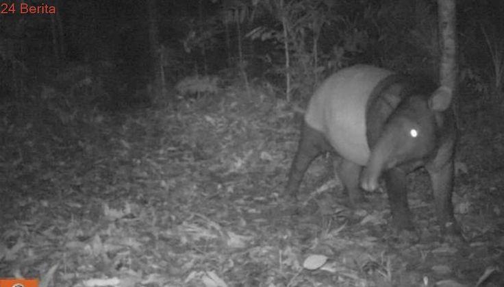 Tapir Berbobot 1 Ton Kabur dari Kebun Binatang Bukittinggi