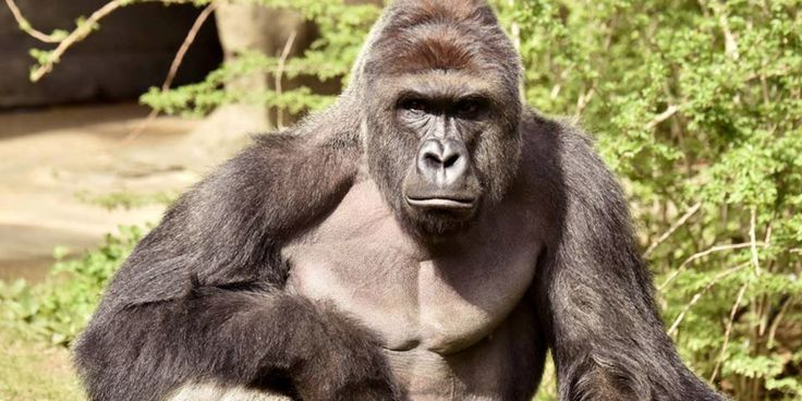Don't let Harambe the gorilla's death be in vain.