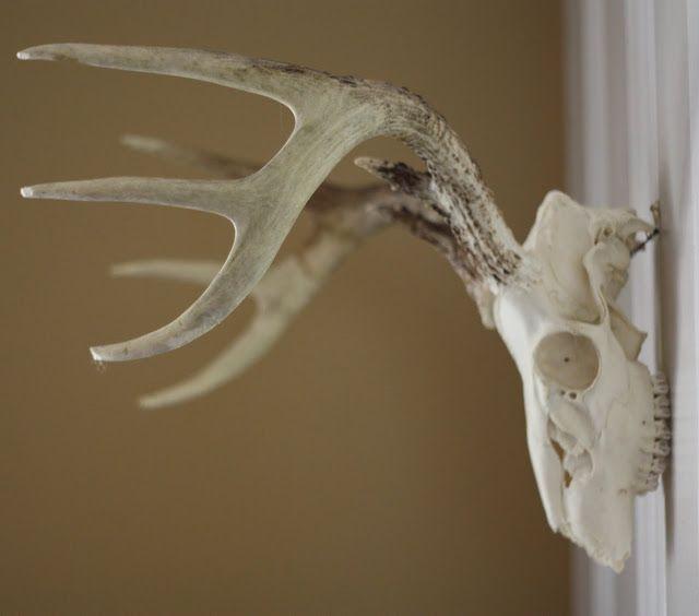 How to clean & hang skull + antlers.