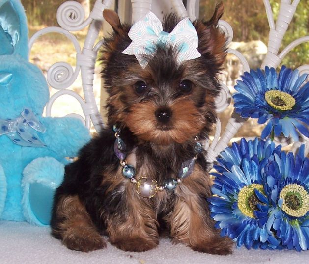 Yorkie Dogs - Small Dog Breeds | Dog Breed Portal