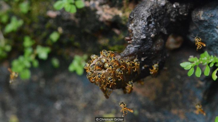 #Animal | Jatai bees built heavily fortified nests. Many social insects have soldiers, but only one bee does – and Jatai bee soldiers are unlike any other soldier caste biologists have ever seen.