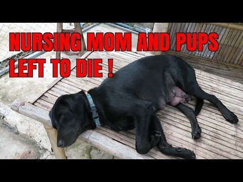 Labrador Retriever Puppies Rescue Near Me Abandoned Black Lab And Her Puppies Infested With Fleas Labrador Retriever Puppies Labrador Dog Labrador Retriever