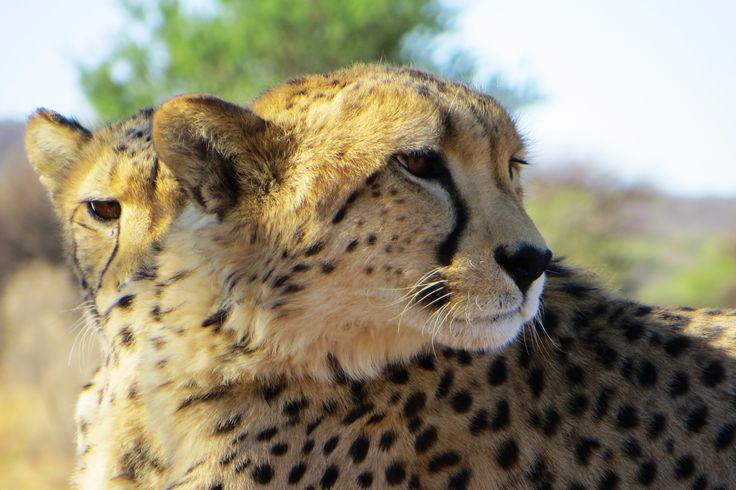 Selfmade Cheeta closeup Namibia 2014