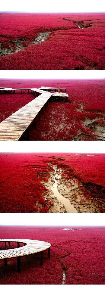 Red Beach in Panjin, China....      The beach gets its name from its appearance, which is caused by a type of sea weed that flourishes in the saline-alkali soil. The weed that start growing during April or May remains green during the summer. In autumn, this weed turns flaming red, and the beach looks as if it was covered by an infinite red carpet that creates a rare red sea landscape. Most of the Red Beach is a nature reserve and closed to the public.  //Martin Nilsson
