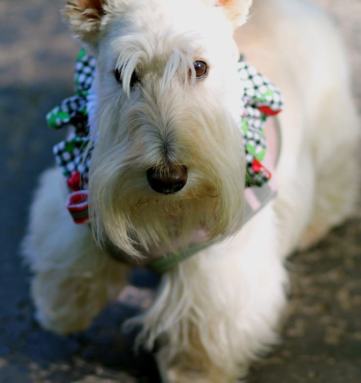 149 Best Images About Scottie Dogs Iii Wheatens On