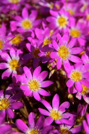"""""""Pink Wildflowers"""" Western Australia"""