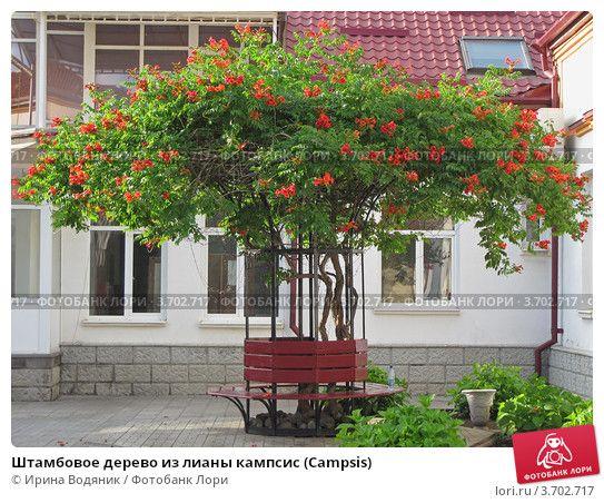 Штамбовое дерево из лианы кампсис (Campsis), фото № 3702717, снято 20 июня 2012 г. (c) Ирина Водяник / Фотобанк Лори