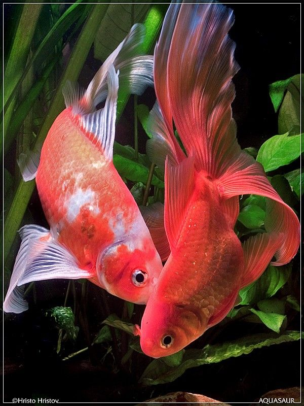 17 best images about gold fish on pinterest bristol for Tropical fish pond