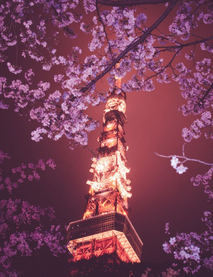 walk through japans famous cherry blossom trees. Tokyo Tower,Tokyo, Japan!