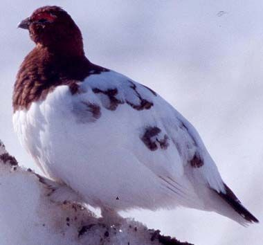 Willow ptarmigan nearly white for winter - click to see all state birds