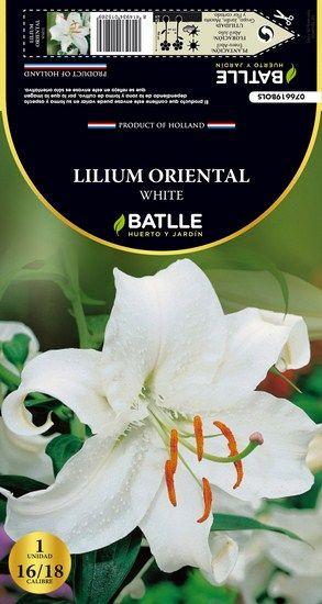 Bulbo Lilium Oriental White