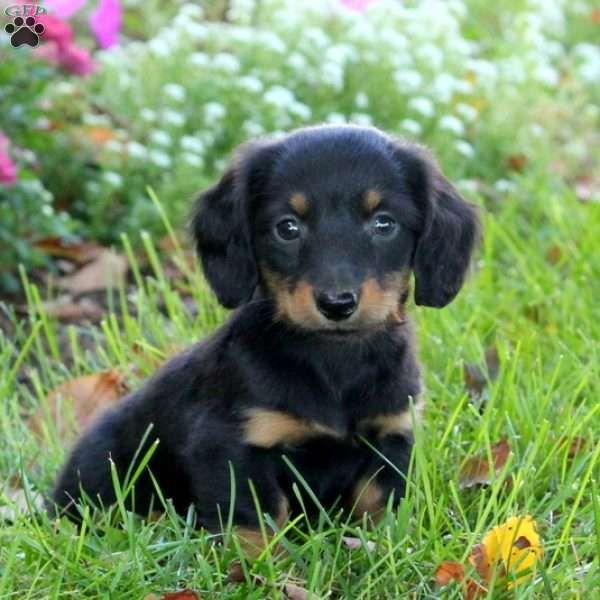 Max Dachshund Puppy For Sale In Pennsylvania Cute Puppies