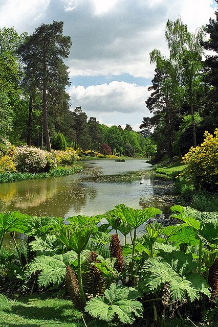 Leonardslee Gardens, West Sussex, UK - Lake view with Gunnera and flowering azaleas.....a half a mile from where I live!