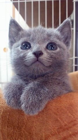 So cute! Russian Blue kitten.