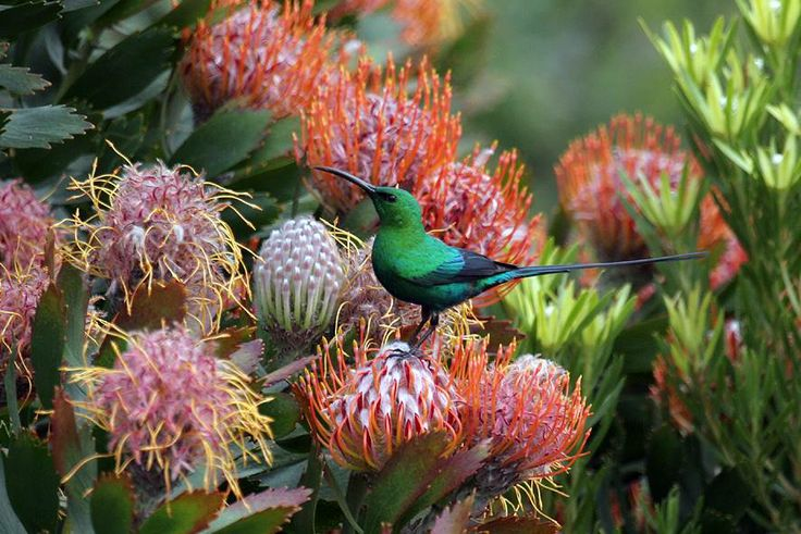 Malachite Sunbird by Steve Davis. For more info on this tour you are welcome to visit: http://www.rockjumperbirding.com/tourinfo/south-africa-cape-wildflowers-birding-big-game-2014?crumb=birding-tours-africa-and-madagascar