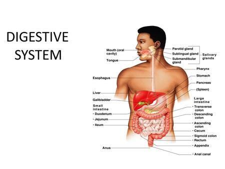 DIGESTIVE SYSTEM. Peritoneum: Membrane of the abdominal cavity Parietal Peritoneum covers the abdominal wall Visceral Peritoneum covers the inner organs.>