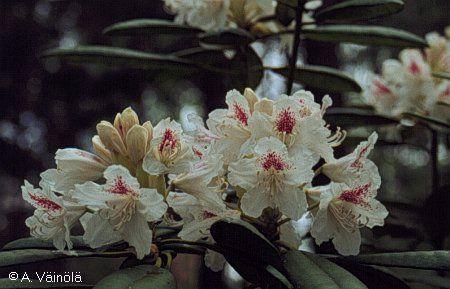 'P.M.A. Tigerstedt - Finnsh Marjatta Rhododendron