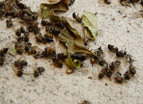 Pesticides To Blame For Thousands Of Dead Bees In Minnesota