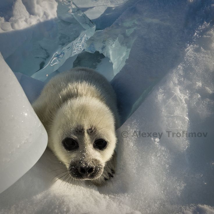 Baikal seal puppy