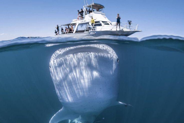 La foto más impactante del año pequeño barco de turistas se encontró de frente al tiburón más gigantesco del planeta