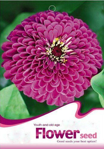 Solution Seeds Farm Hierloom Purple Zinnia Elegans Annual Youth-and-Old-Age Beautiful Flowers,50 Seeds