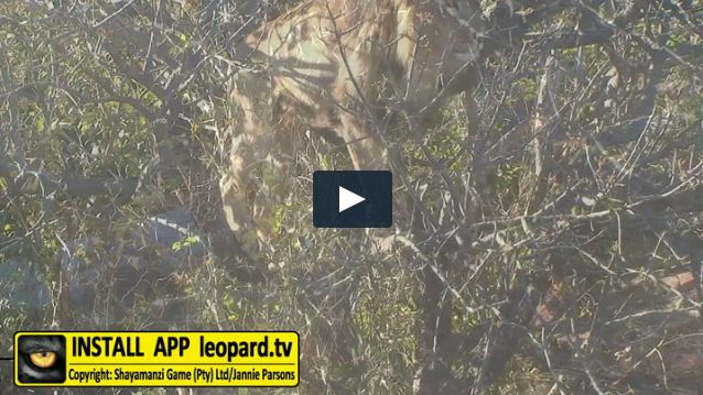 Here's one for the bucket list - Watch Shumba the male #lion climb a tree at #Shayamanzi! #leopardtv